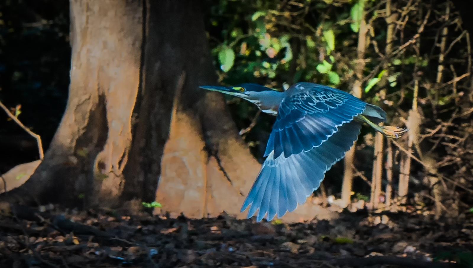 130-Little-Blue-Heron