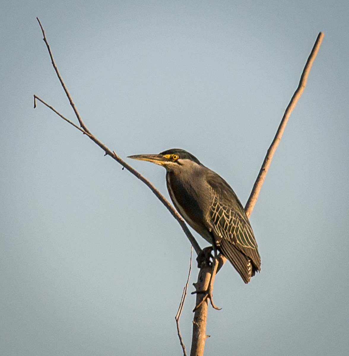 14-Striated-Heron