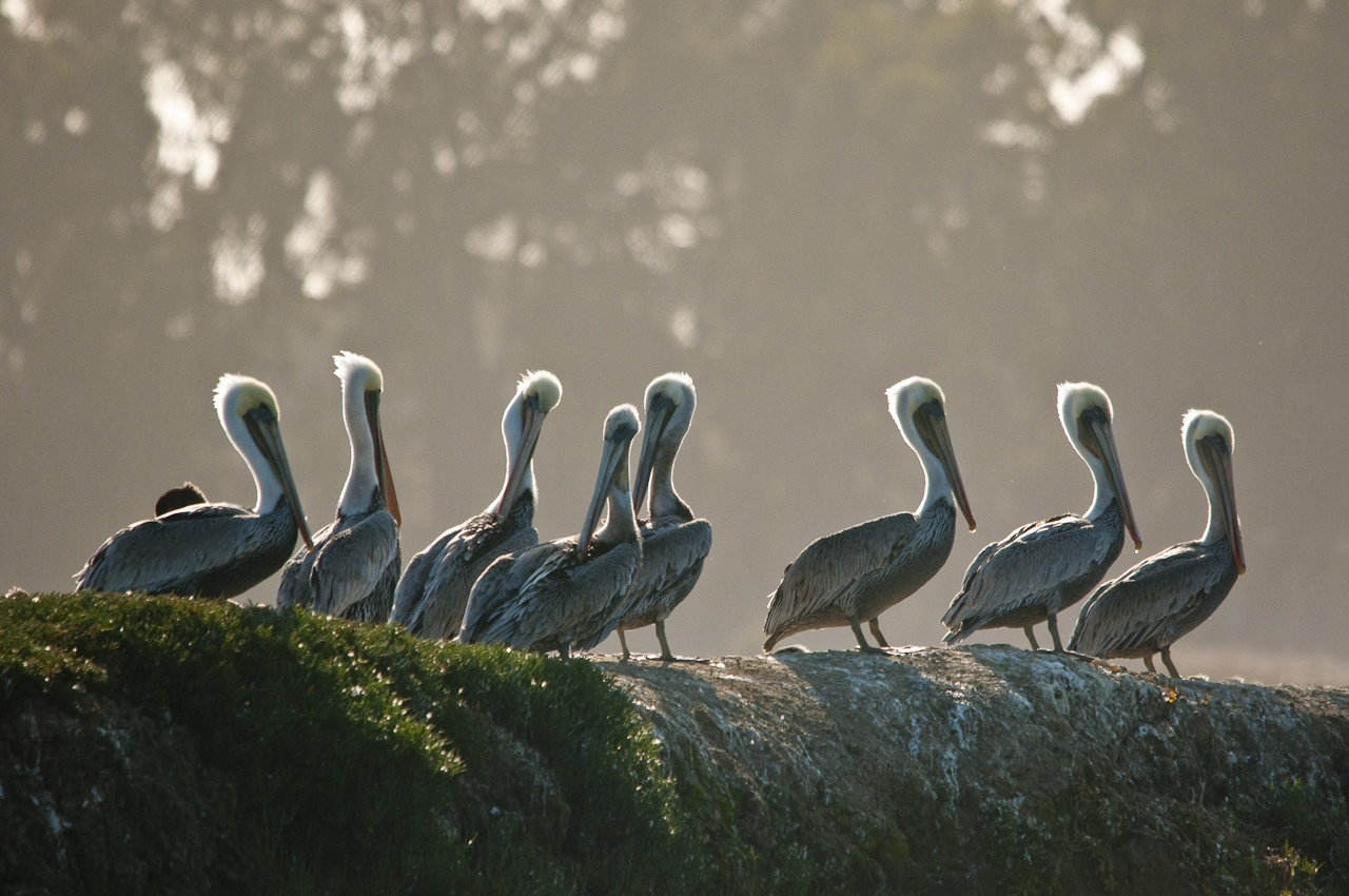 19-Pelicans