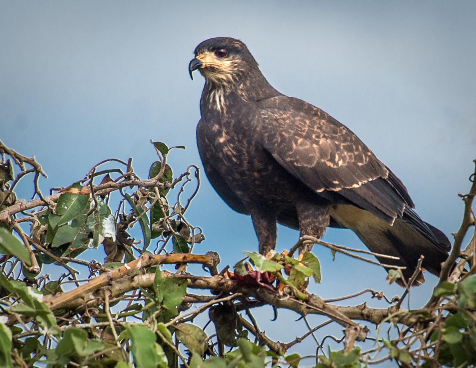 1_85-Great-Black-Hawk-Immature