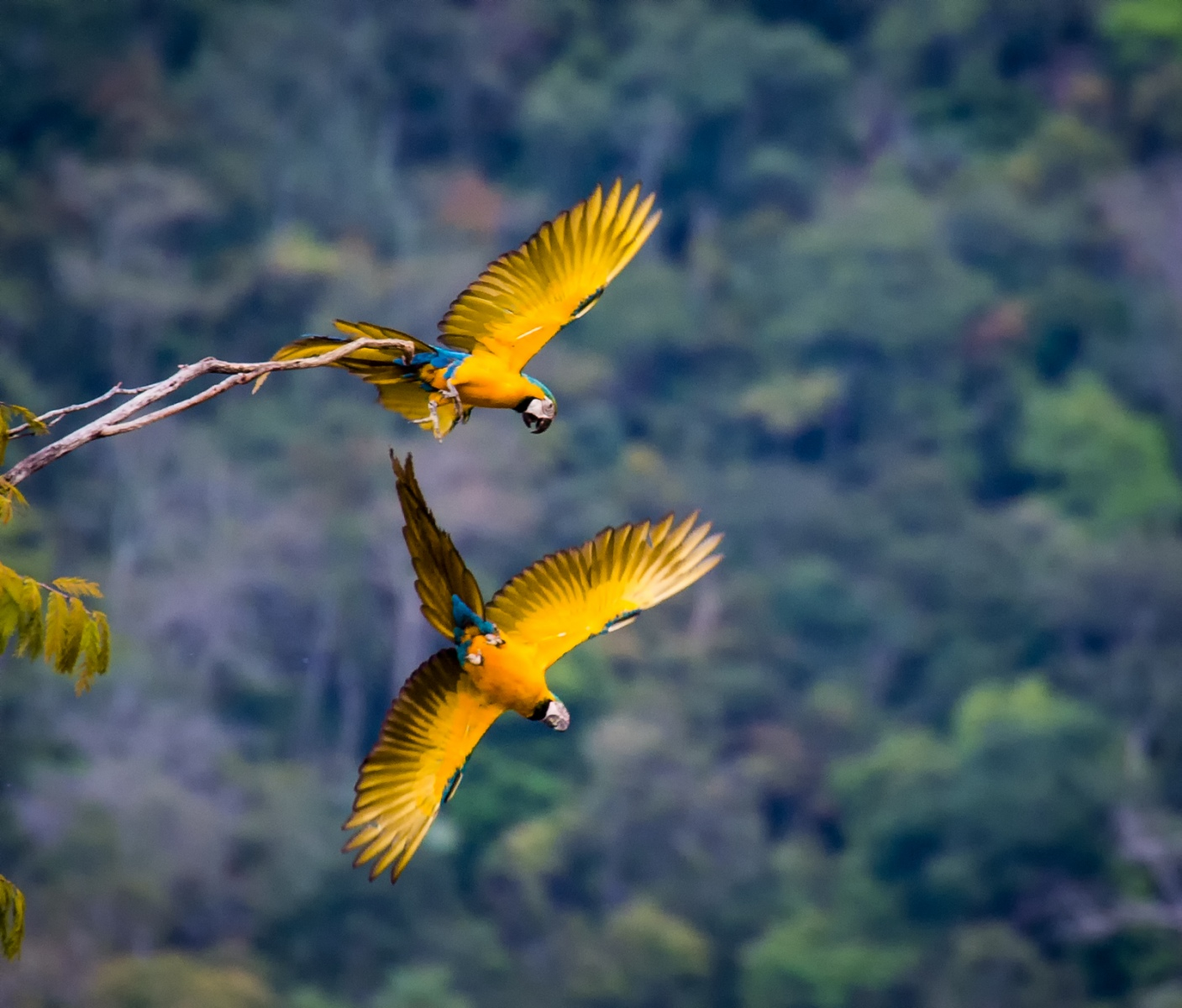 24-Blue-and-Yellow-Macaws