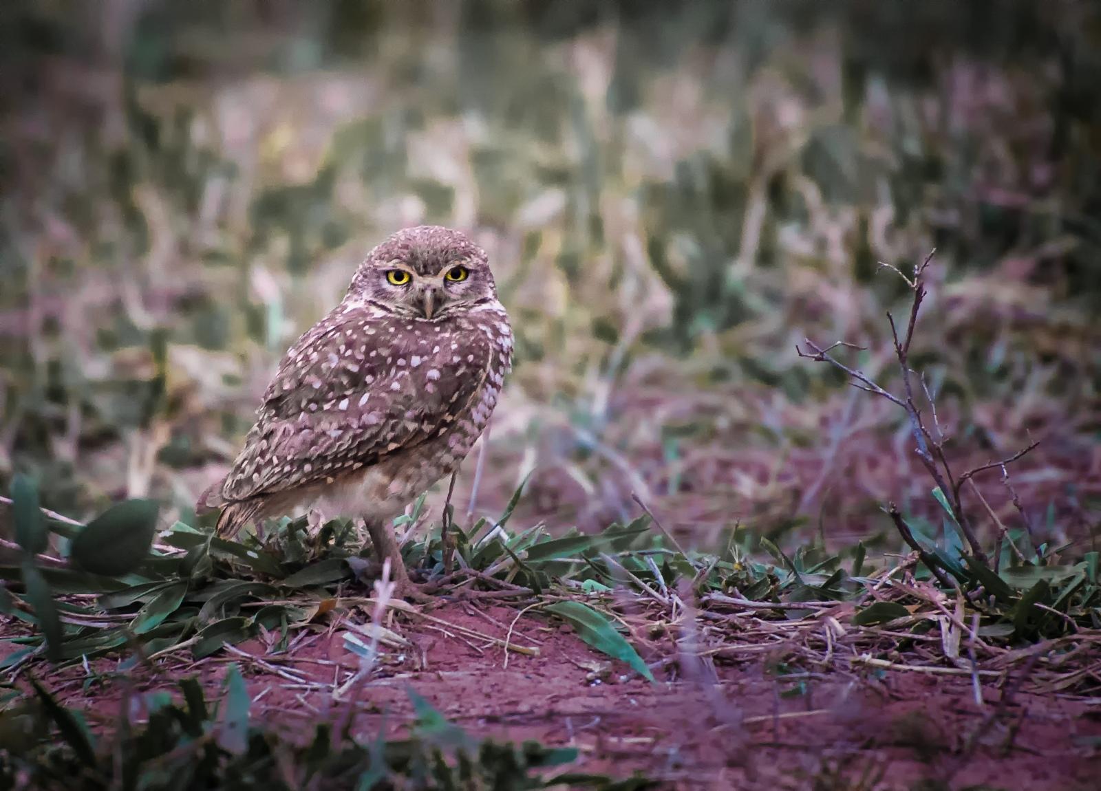 25-Burrowing-Owl