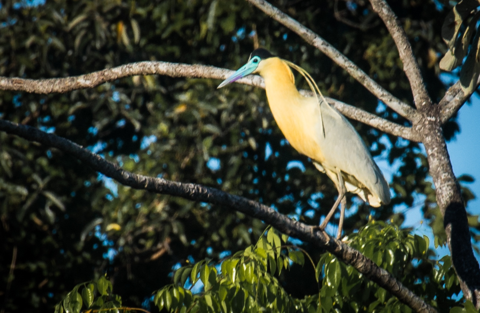 26-Capped-Heron