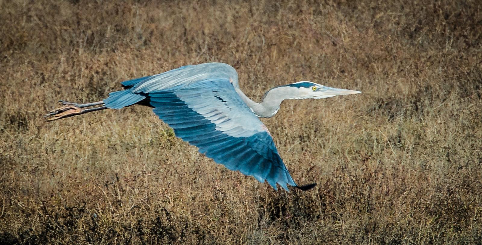 28-Great-Blue-Heron