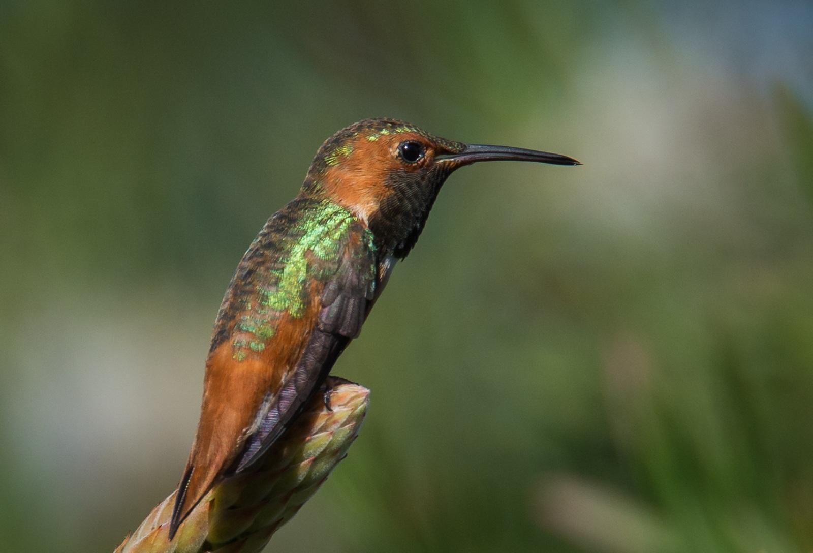 29-Ruby-Throated-Hummingbird