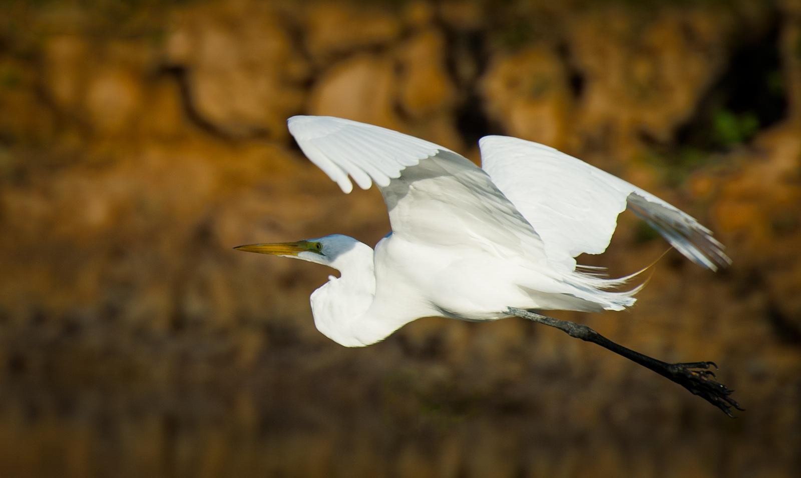 31-Great-Egret