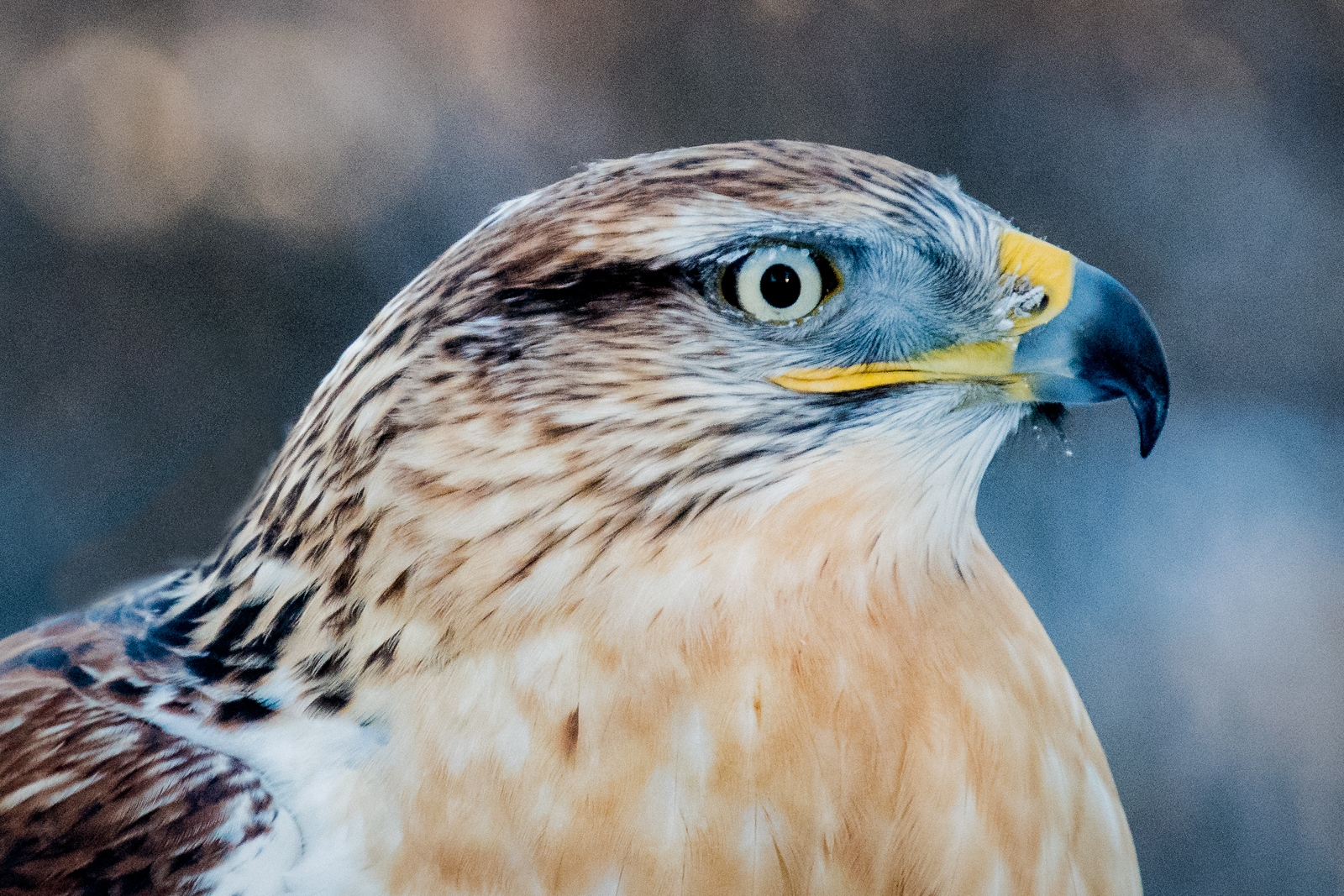 33-Ferrugenous-Hawk