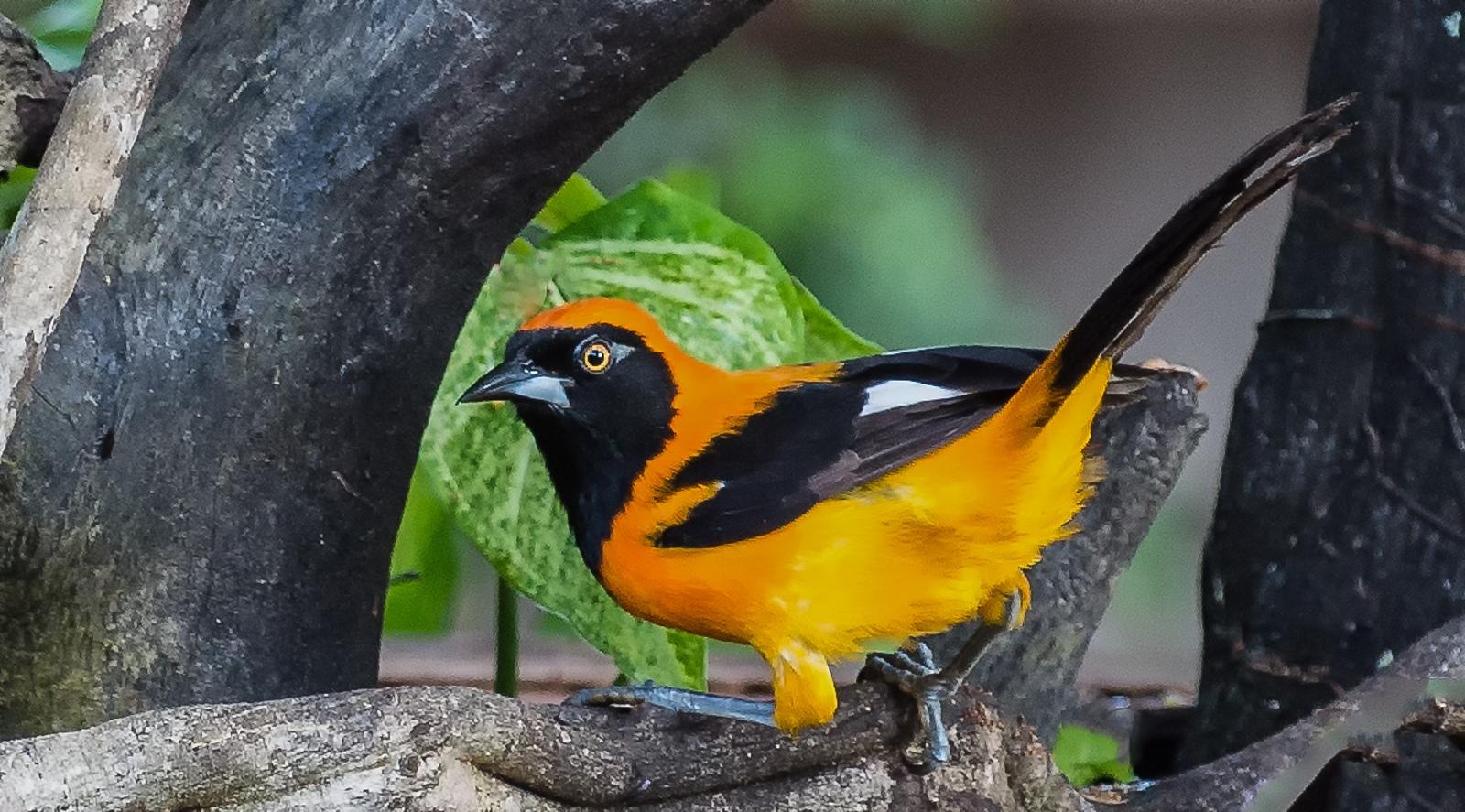 35-Orange-backed-Troupial