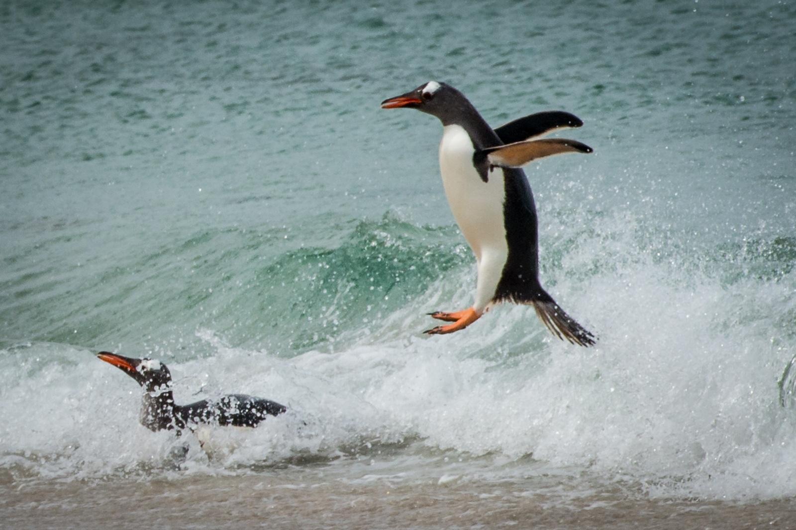 38-Gentoo-Peguin-Riding-the-Surf