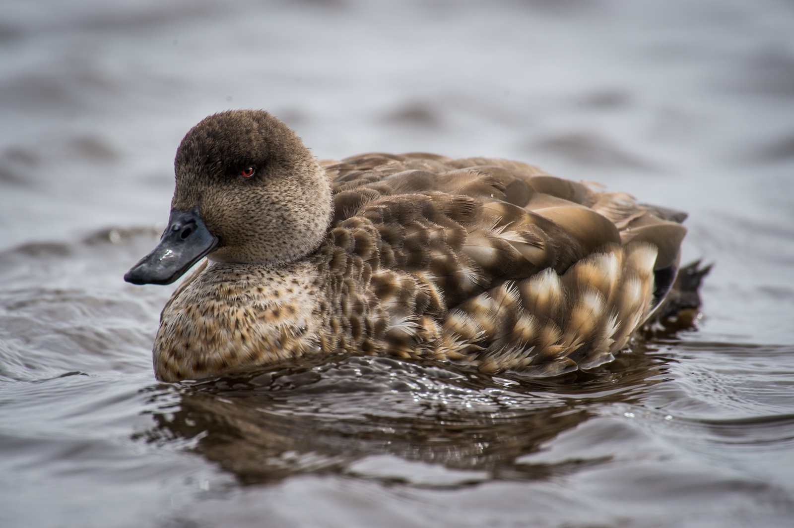40-Crested-Duck