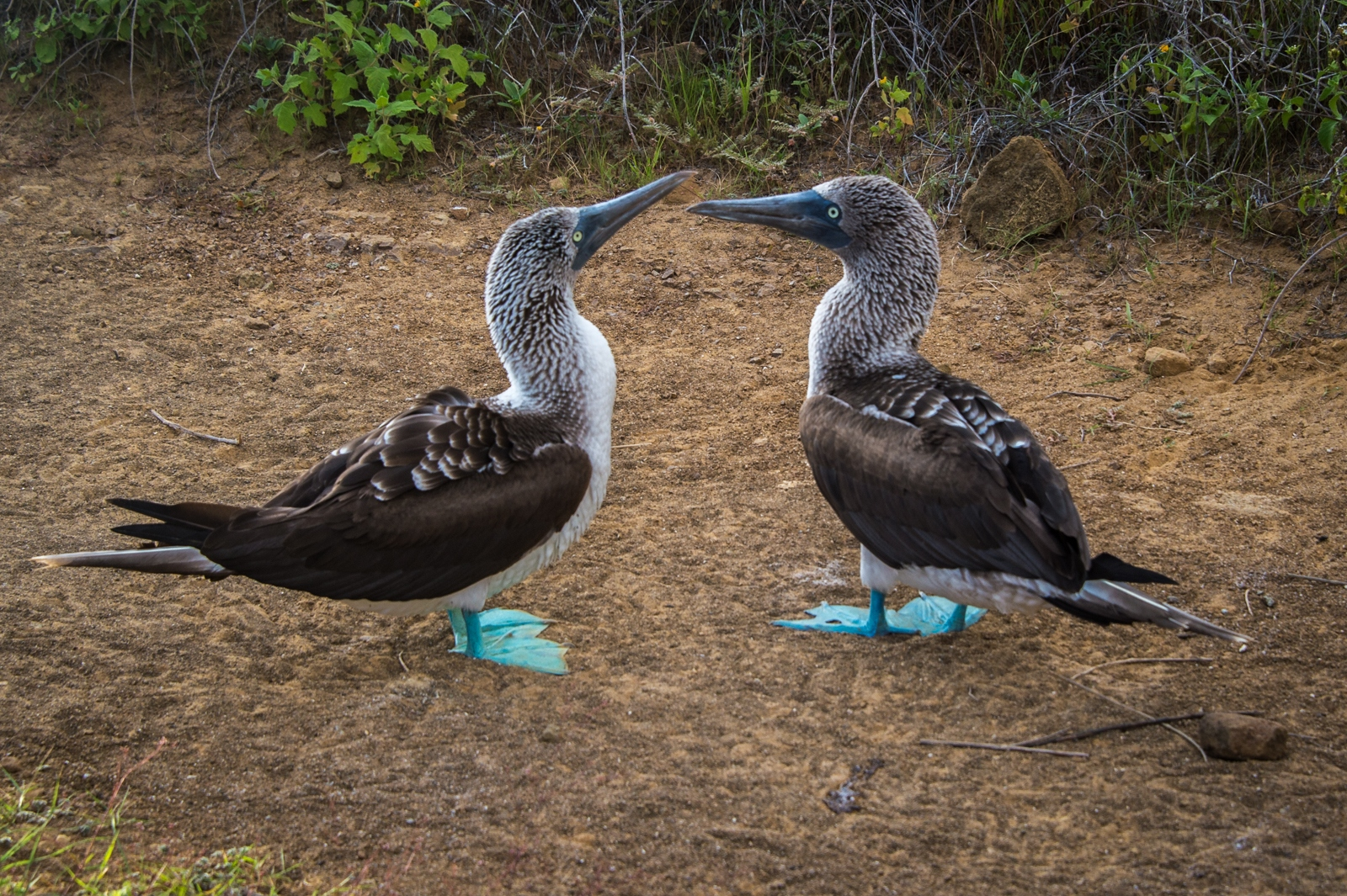 43-Blue-footed-Boobies