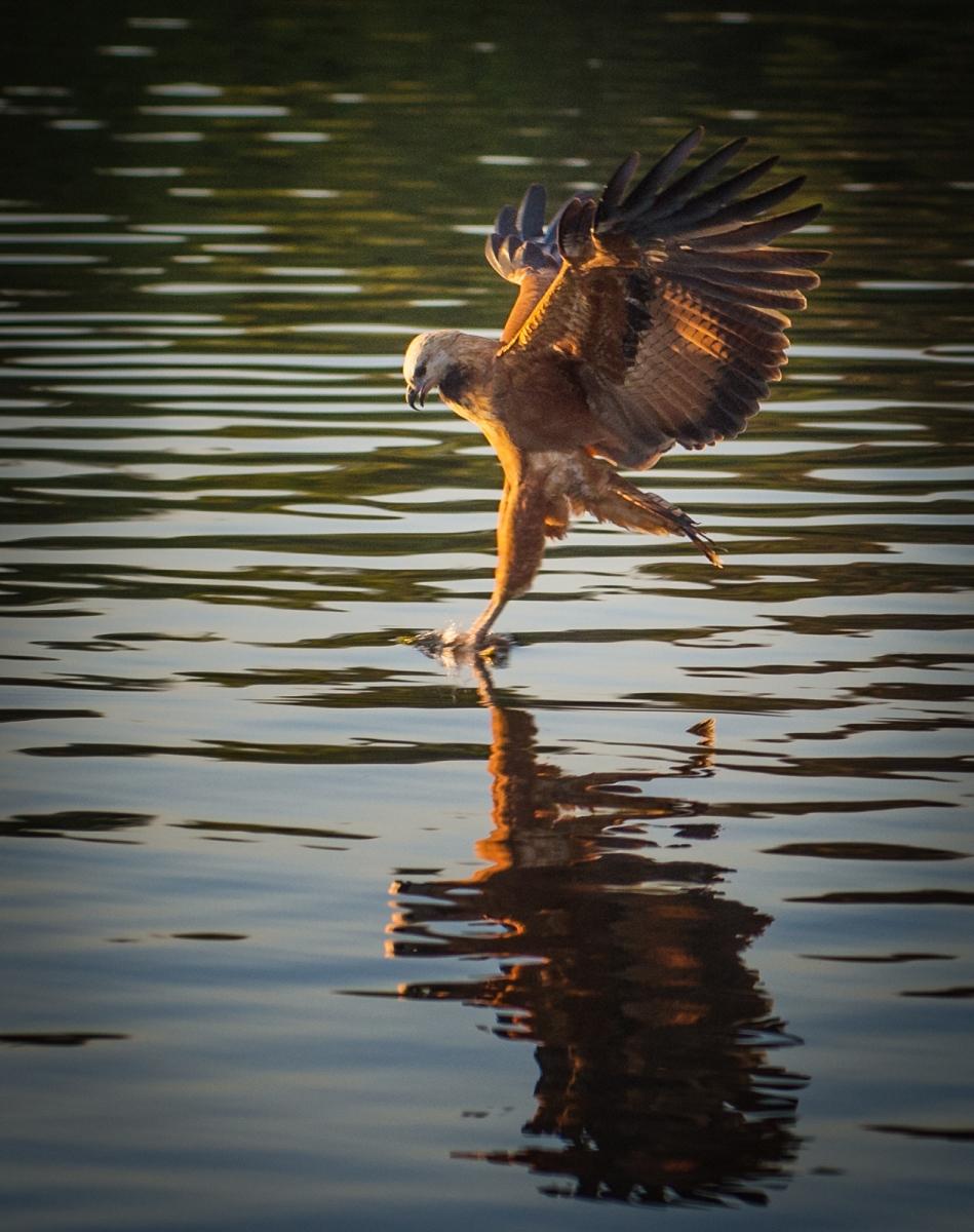 45-Black-Collared-Hawk