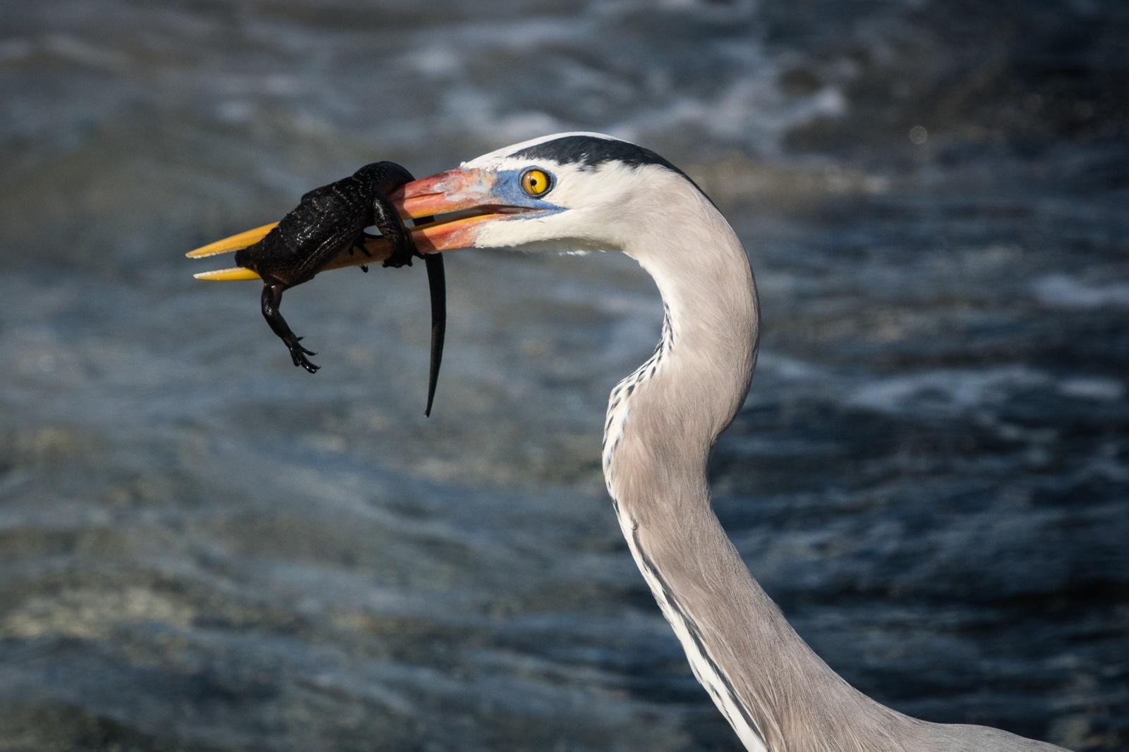48-Blue-Heron-with-Iguana