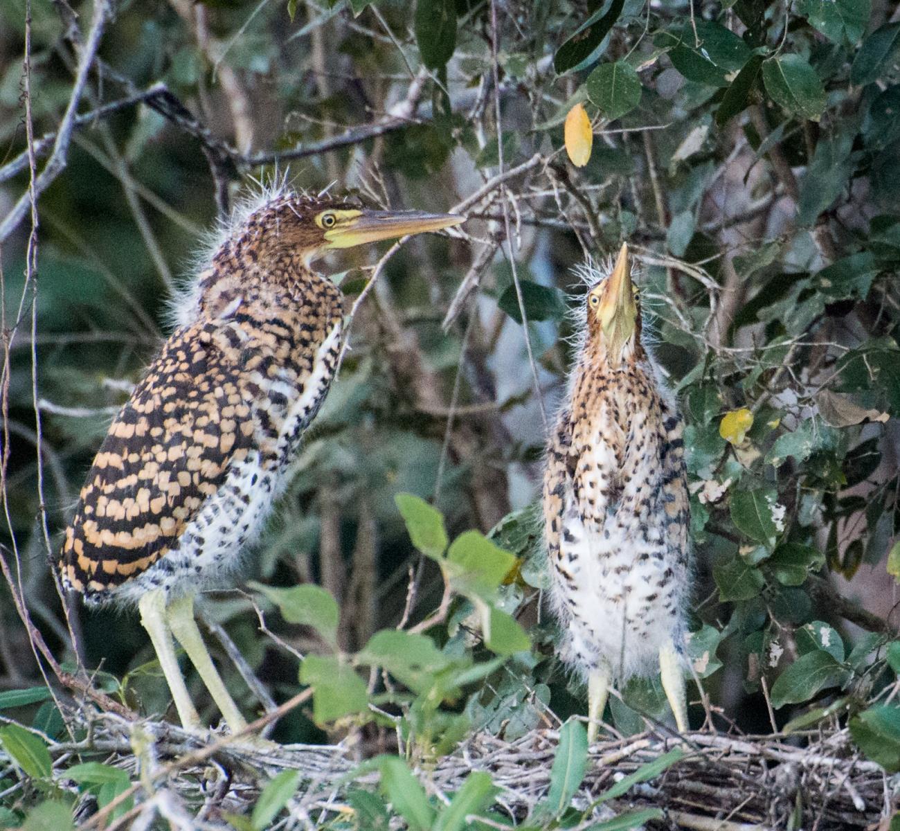 49-Young-Rufescent-Tiger-Herons