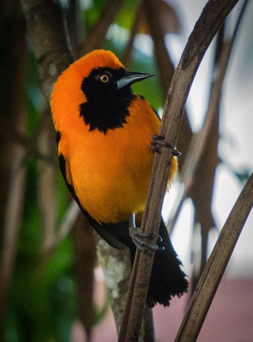 55-Orange-backed-Troupial