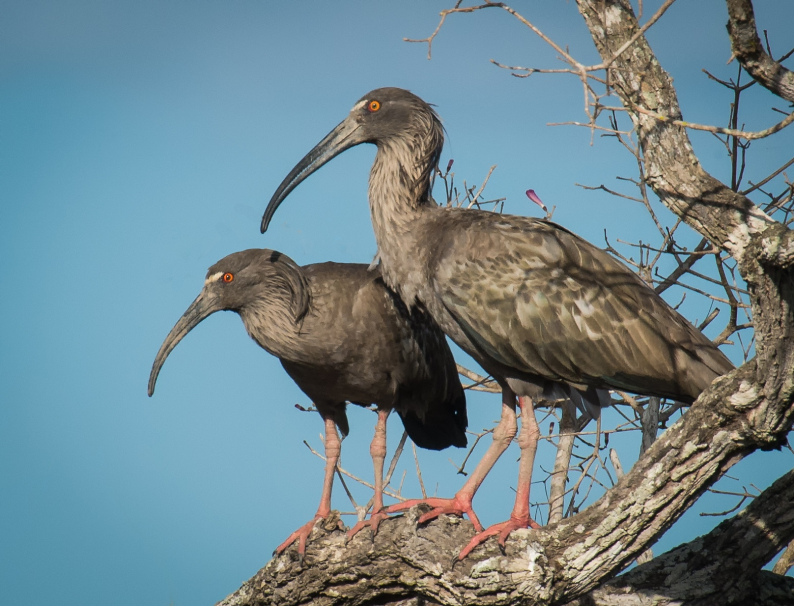 56-Plumbeous-Ibis