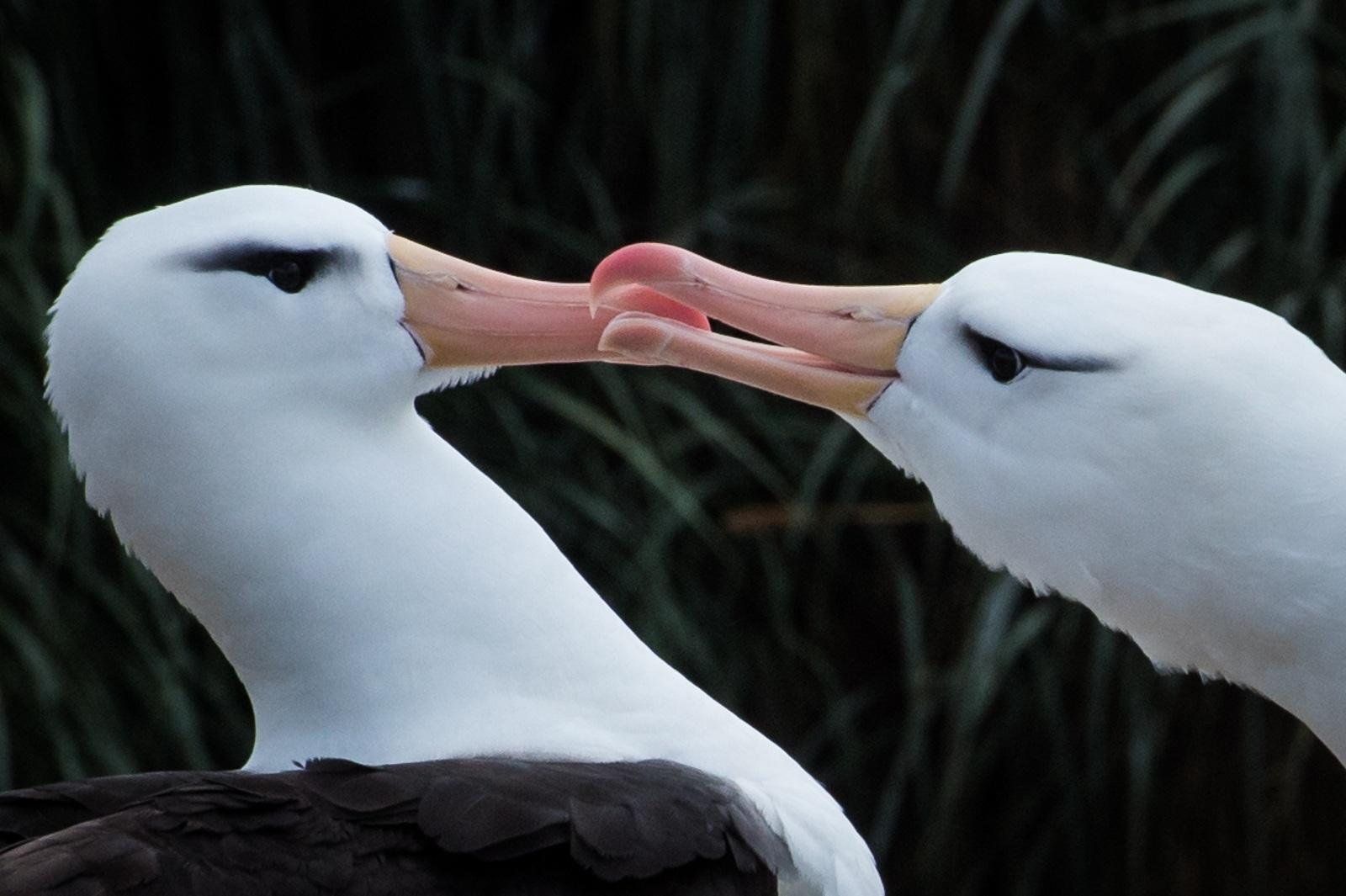 62-Black-browed-Albatross