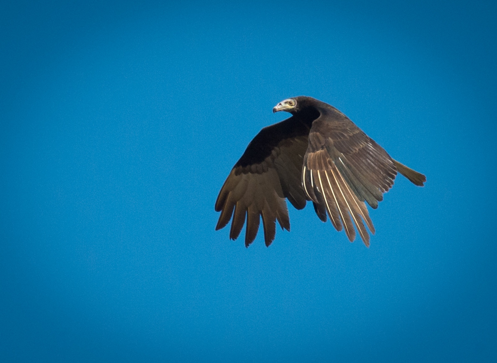 68-Lessor-Yellow-headed-Vulture