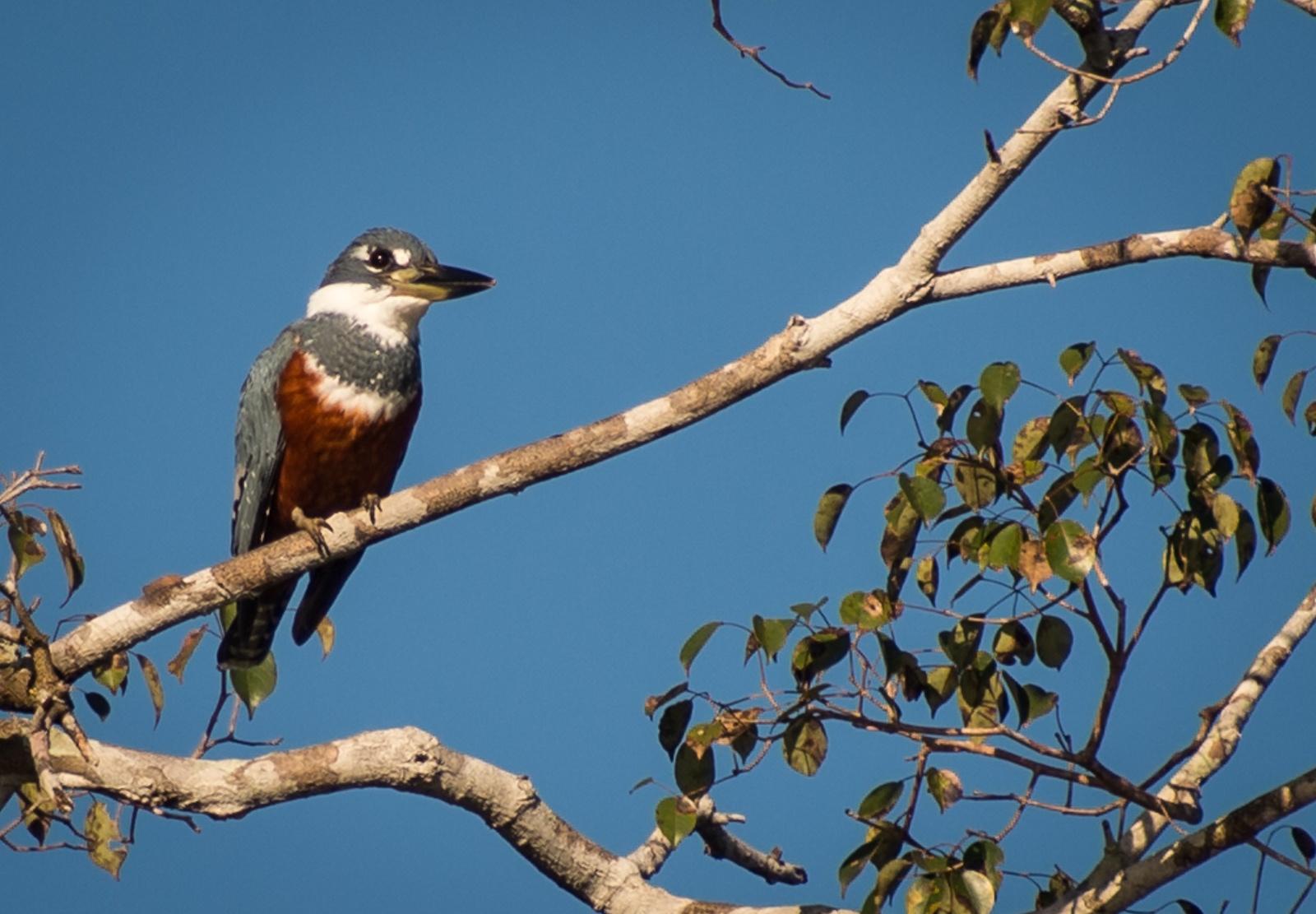 69-Ringed-Kingfisher