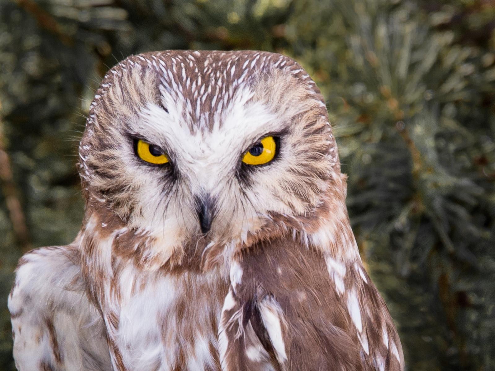 7-Saw-whet-Owl
