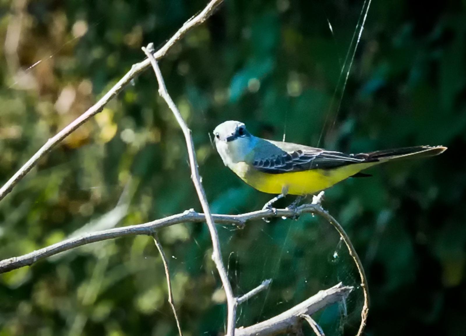 72-Tropical-Kingbird
