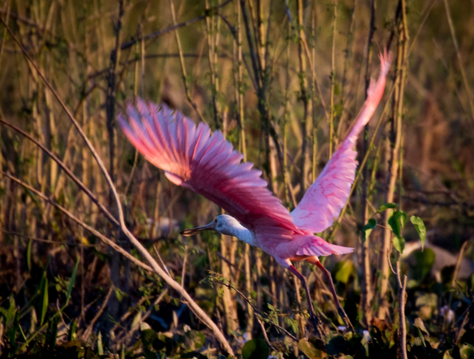 73-Young-Rosate-Spoonbill