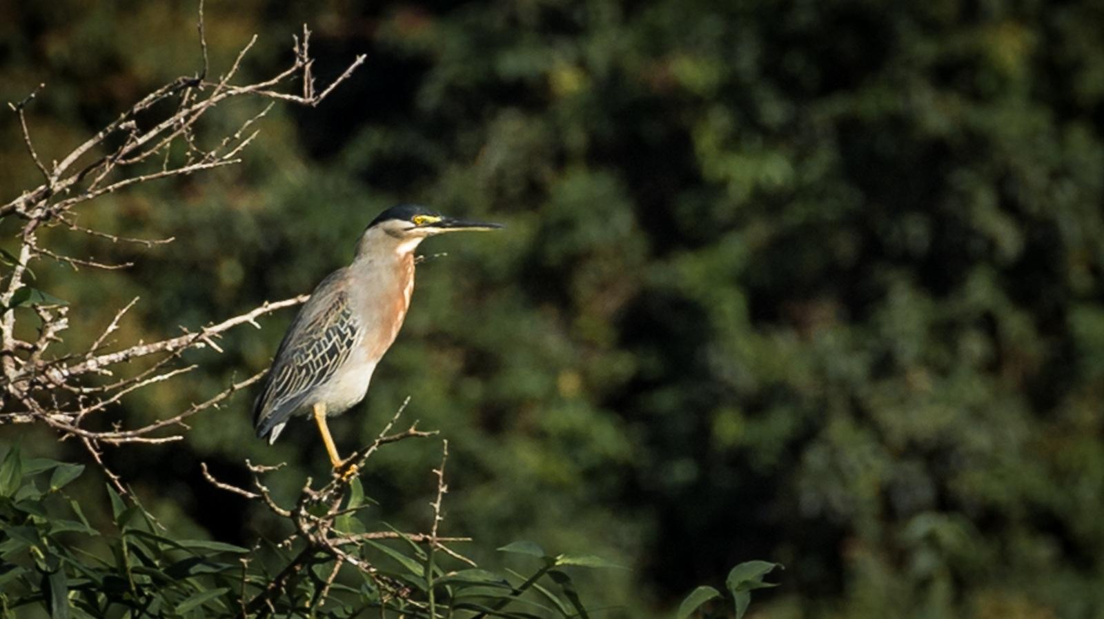 76-Striated-Heron