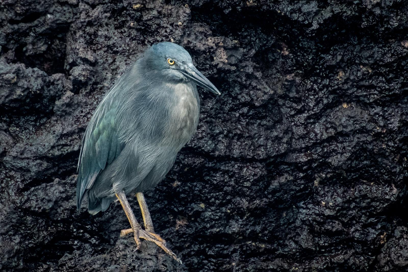 78-Lava-Heron