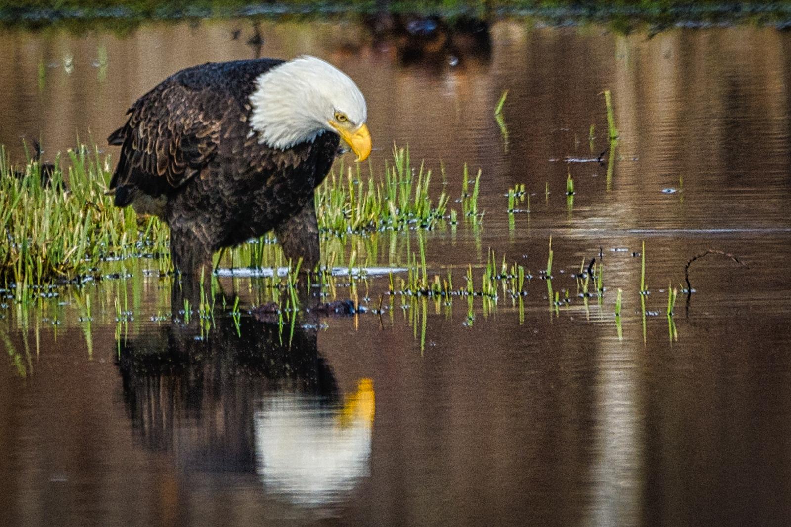 80-Bald-Eagle
