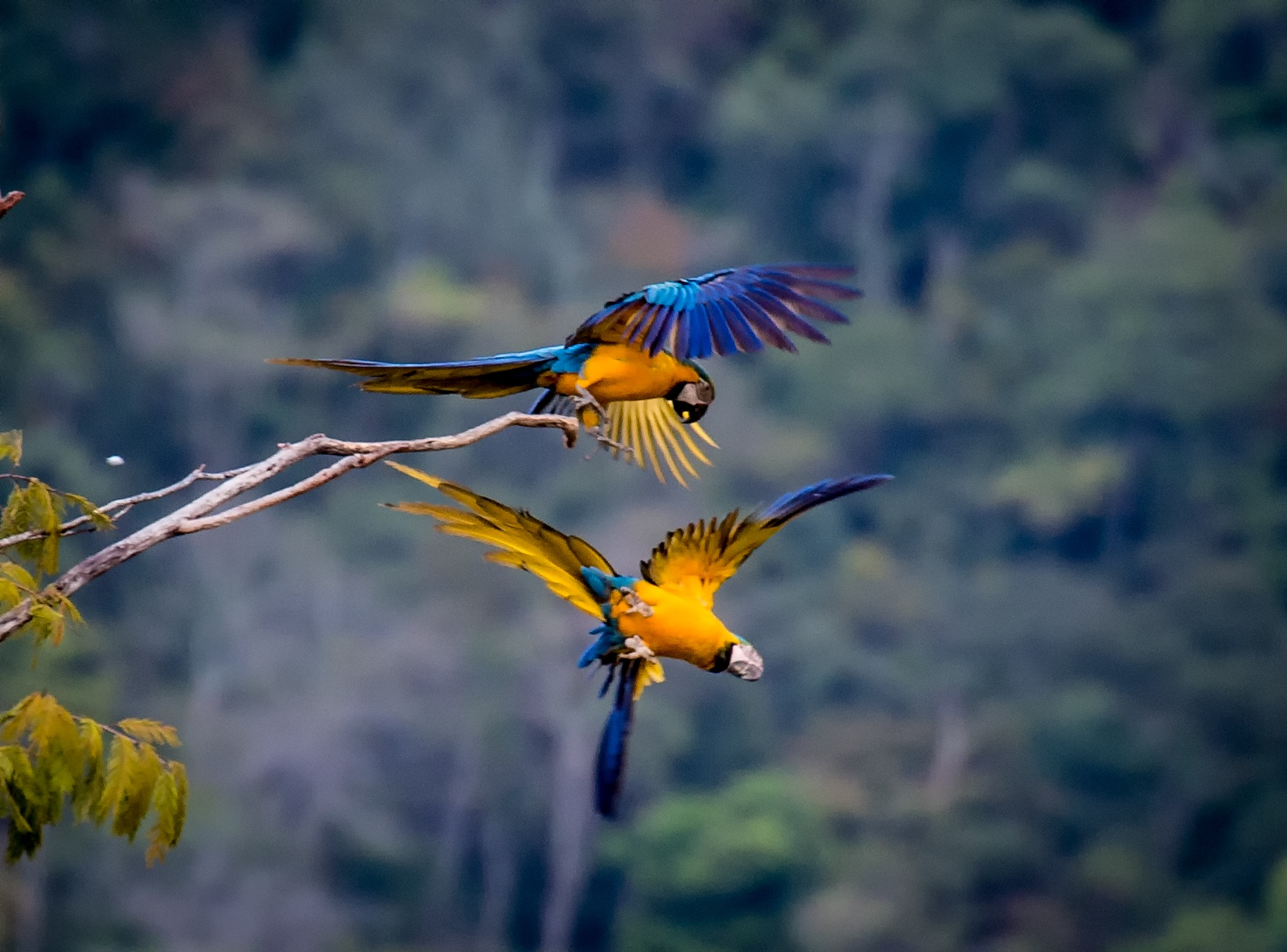 83-Blue-and-Yellow-Macaws