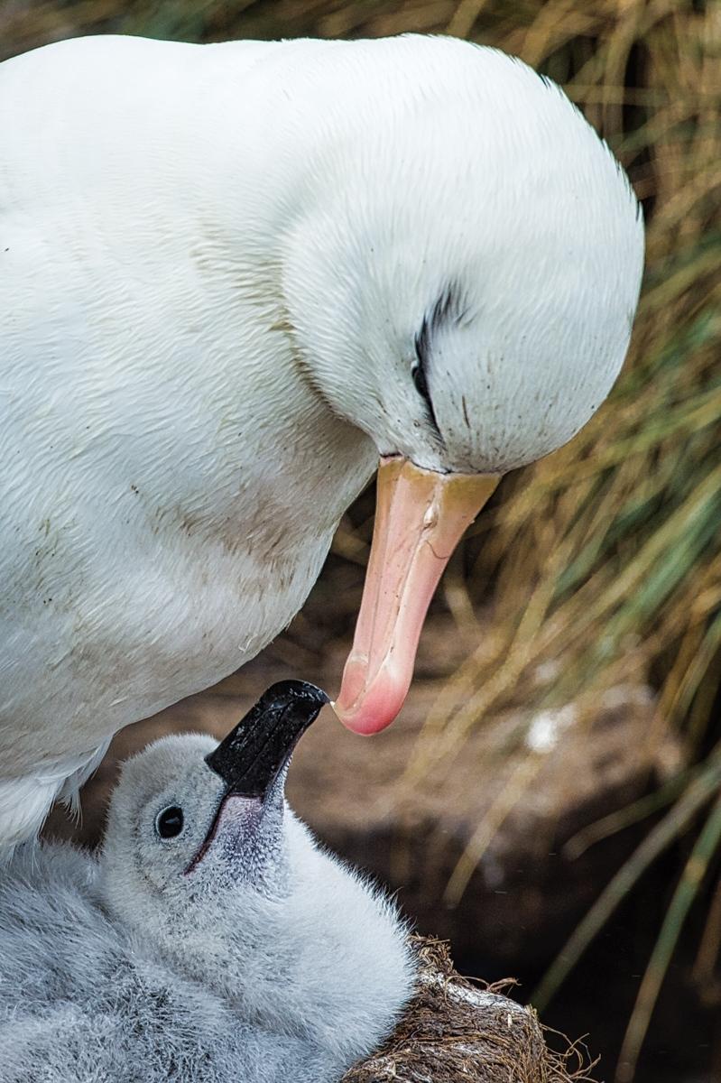 9-Black-browed-Albatross