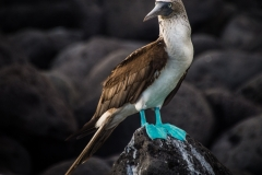11-Blue-footed-Boobie