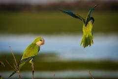 131-Monk-Parakeet