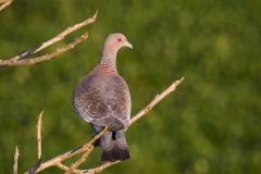 132-Picazuro-Pigeon