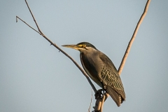 14-Striated-Heron