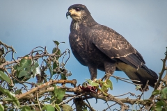 1_85-Great-Black-Hawk-Immature