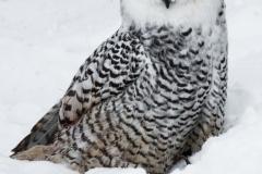 20-Snowy-Owl