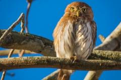 22-Ferruginous-Pygmy-Owl