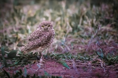 25-Burrowing-Owl