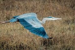 28-Great-Blue-Heron