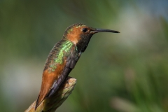 29-Ruby-Throated-Hummingbird