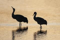 3-sand-Hill-Cranes