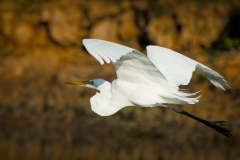 31-Great-Egret