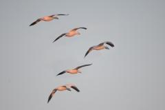 32-Snow-Geese