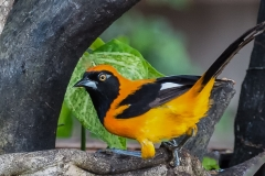 35-Orange-backed-Troupial