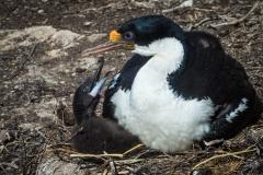 39-Imperial-Cormorant