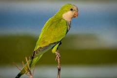 4-Monk-Parakeet
