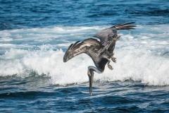 44-Pelican