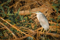 47-Black-crowned-Night-Heron