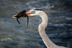 48-Blue-Heron-with-Iguana